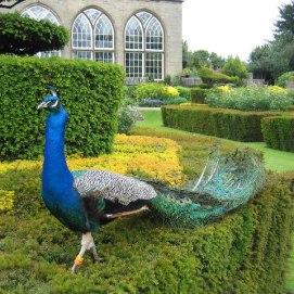 peacock war