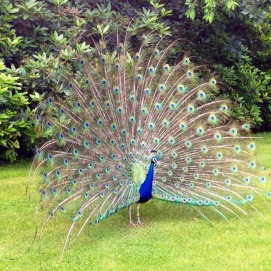 warwick peacocks